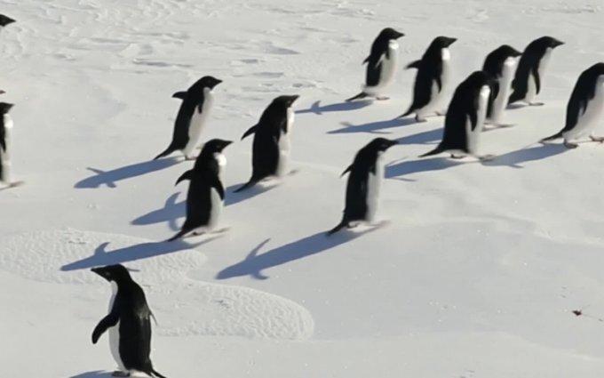 Kaip įsivaikinti pingviną