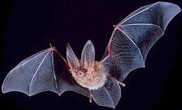 šikšnosparnių alternatyvi prekybos sistema
